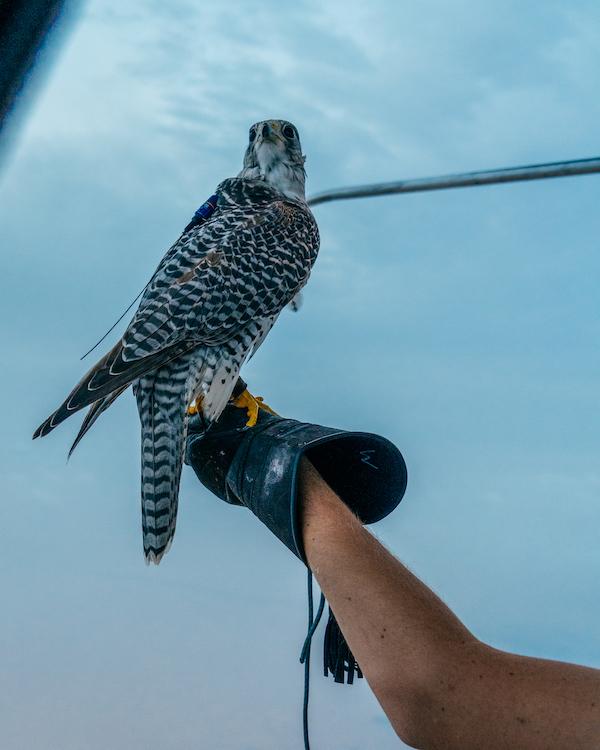 BALLOON ADVENTURES DUBAI Mongolfiera Falcon Falco