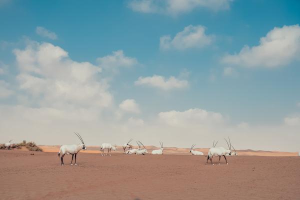 Arabian Gazelle Dubai antelope desert deserto