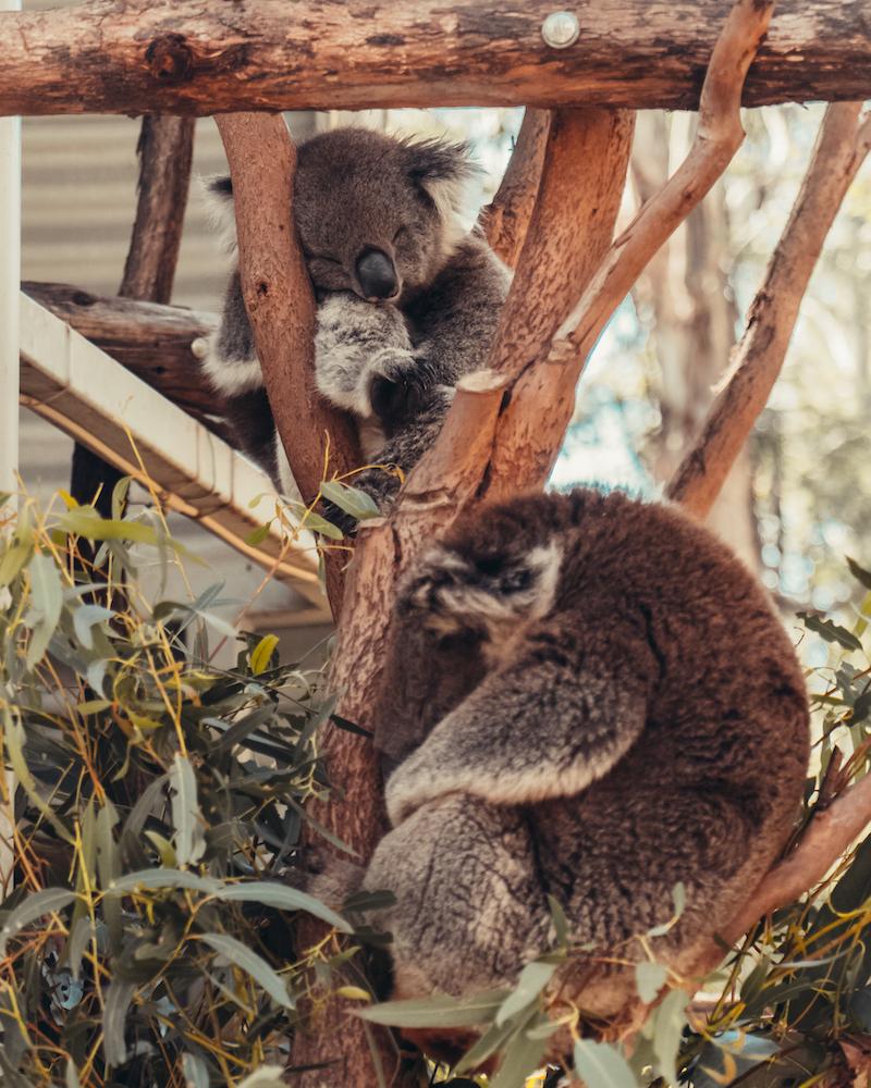 Canberra Urban Adventures Koala