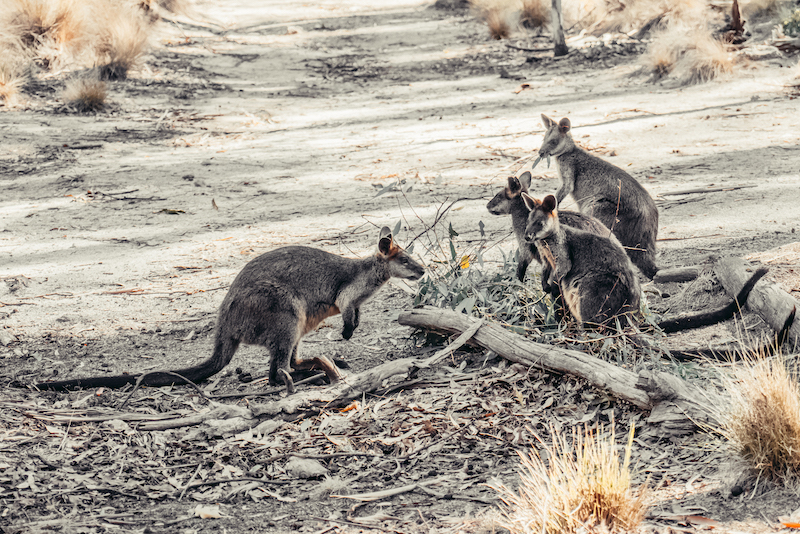 Canberra Urban Adventures Wallaby